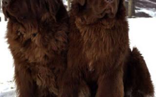 Ньюфаундленд: описание породы собак, уход за псом водолазом
