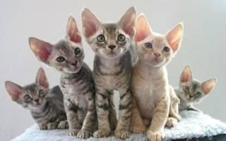 7 популярных пород кошек с большими ушами: как они называются и какого ухода требуют