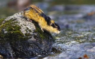 Лемминги: что это за животные и как они выглядят, описание и характеристика, интересные факты