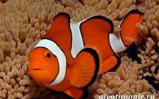 Аквариумная рыба-клоун: содержание, описание, питание и размножение