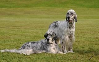 16 лучших английских или британских пород собак: фото, название и описание, стоимость щенков
