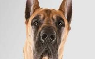 Немецкий дог: описание и характеристика породы собак, цена и питомники