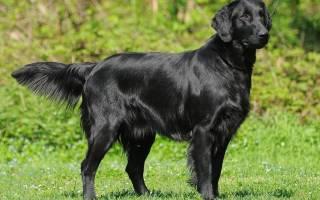 Прямошерстный ретривер (флэт): описание и характеристика собаки, содержание и уход