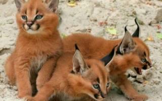 5 пород кошек с кисточками на ушах: описание и названия, правила ухода и содержания