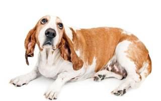 Пупочная грыжа у собаки или у щенка на животе: диагностика и что делать