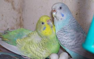 Разведение попугаев волнистых попугаев: размножение в домашних условиях, плюсы и минусы