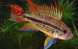 Апистограмма какаду: содержание и уход за рыбкой, кормление и разведение