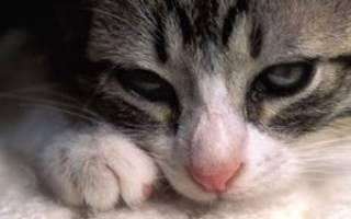 Хламидиоз у кошек и котят: симптомы, лечение, можно ли заразиться