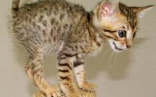 Кошки породы серенгети: происхождение и описание животного, питание и особенности разведения