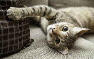 Сколько когтей у кошки: на передних и задних лапах, на всех 4 лапах
