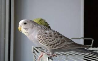 20 самых лучших разновидностей волнистых попугайчиков: необычные окраски