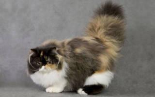 Персидская кошка: 6 разновидностей, сколько лет живут в домашних условиях