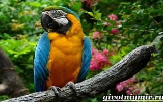 6 видов попугая ара: как выглядит, описание, особенности характера и размножения