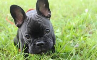 Французский бульдог: описание породы и стоимость щенков, плюсы и минусы