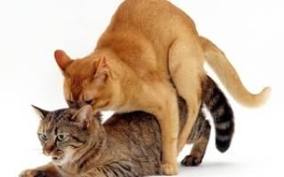 Течка у кошки: когда начинается, сколько она идёт и как успокоить кошку