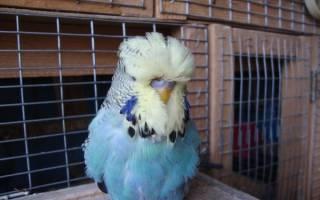 Выставочный попугай чех: в чем отличие от волнистого