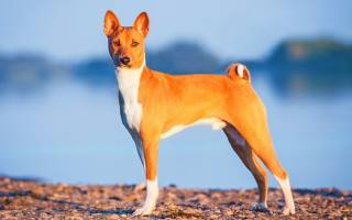 10 пород собак, которые не лают: Басенджи, Бульмастиф, Дирхаунд, Афганская борзая, Родезийский риджбек, Акита ину, Кламбер спаниель, Английский бульдог, Салюки, Новогвинейская поющая собака
