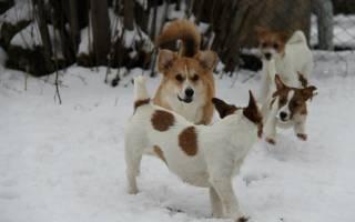 9 пород собак долгожителей: описание и правила ухода, характер и стоимость щенков