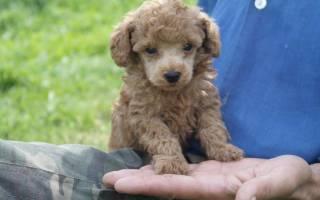 Той или карликовый пудель: описание и характеристика породы собак, разновидности