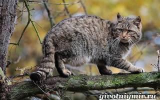 Дальневосточный лесной кот: ареал его обитания, повадки, образ жизни и питание
