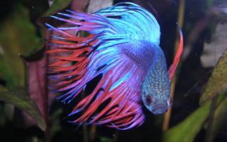 Рыбка петушок: разведение и размножение в домашних условиях, болезни и симптомы, способы лечения