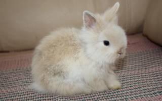 Карликовый кролик: уход и содержание, чем отличается от декоративного