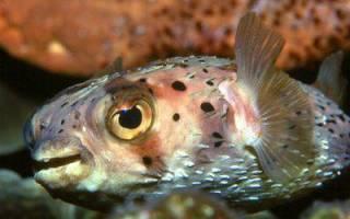 Рыба еж: описание и образ жизни, опасность для взрослых и детей, условия содержания