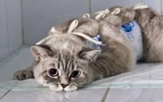 Кастрация кота: зачем кастрировать и стерилизовать, надо ли это делать, последствия