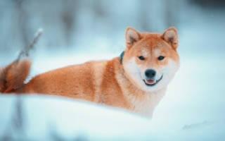 Сиба ину (шиба ину): описание японской породы собак и стоимость щенка