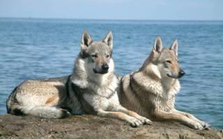 Волчья собака сарлоса, чехословацкая волчья собака или чешский волчак: описание породы и стоимость в питомниках