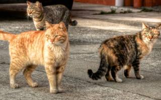 13 лучших короткошерстных пород кошек: описание и уход