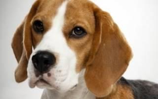 Порода собак Бигль: описание и характер породы, недостатки и достоинства, уход и содержание в квартире