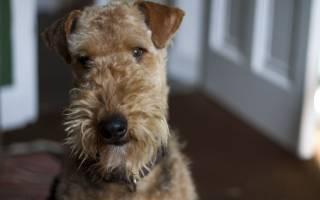 Собака Электроника: описание породы эрдельтерьер, кличка РЕССИ