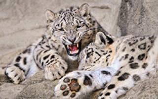 Снежный барс: описание внешнего вида и ареал обитания, охота и питание ирбиса, повадки и размножение
