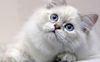 Британская длинношерстная кошка или хайлендер: описание породы, содержание и уход