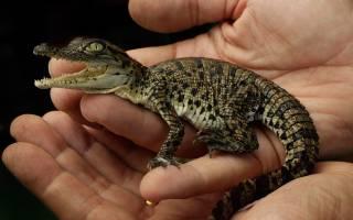Домашний крокодил: содержание и уход в домашних условиях, кормление и особенности поведения