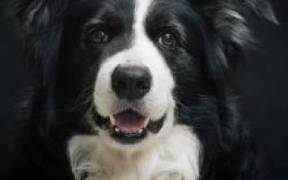 Бордер колли: описание и характеристика породы собак, дрессировка и разведение, стоимость щенка