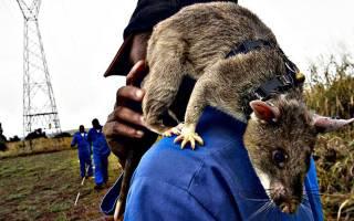 Граската крыса: что такое и как самая большая в мире