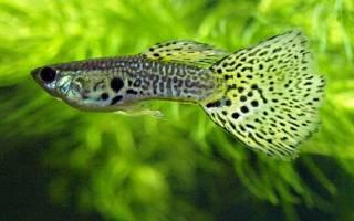 6 живородящих аквариумных рыбок списком: лучшие виды и уход за ними