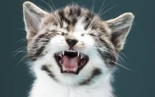 Кот или кошка кашляет и чихает: почему, чем лечить в домашних условиях, что это