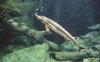 Список осетровых рыб: названия, описание и фото, какие рыбы относятся