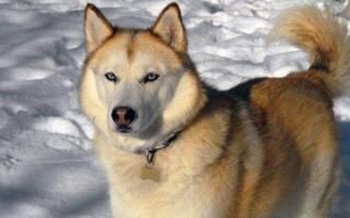 Сахалинский хаски: описание породы собак, содержание и уход