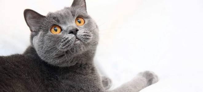 8 пород дымчатых котов и кошек: с желтыми и зелеными глазами, описание и стоимость серых котят