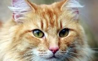 Норвежская лесная кошка: описание породы и стандарты