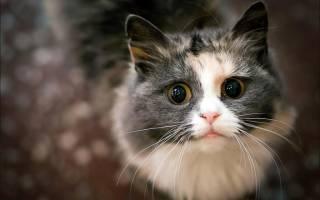 Стригущий лишай или дерматофитоз у кошек: передаётся ли человеку, как и чем лечить