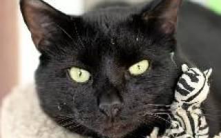 Бомбейская кошка: описание породы и характера,