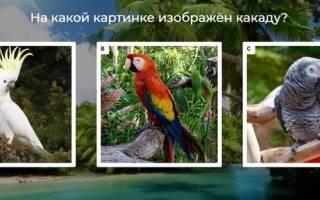 4 вида попугаев какаду: белый, розовый, как выглядят, из какого города