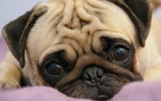 Порода собак мопс: характеристика, описание, характер, как выглядит, информация