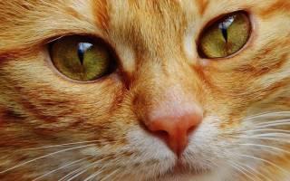 Непроходимость кишечника у кошек: симптомы заворота кишок и лечение