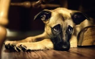 Гнойные выделения у собаки из мочеиспускательного канала: что делать, причины и лечение
